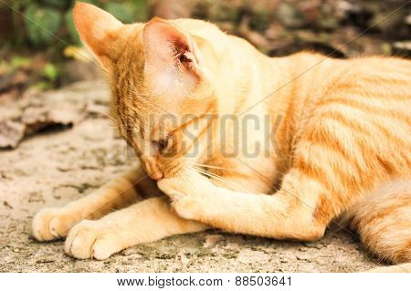 Portrait Of Thai Cat Cute Happy Relax At Monday