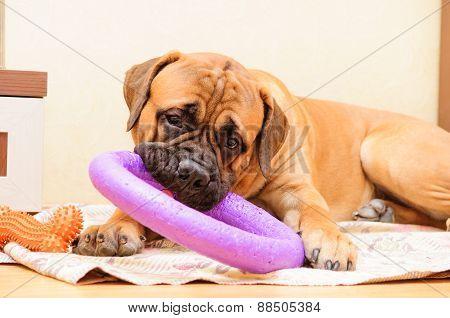 Junior Puppy Bullmastiff