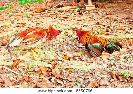Rooster With Fighting Cock On Soil Ground, Culture Thai Fighting Vintage Style
