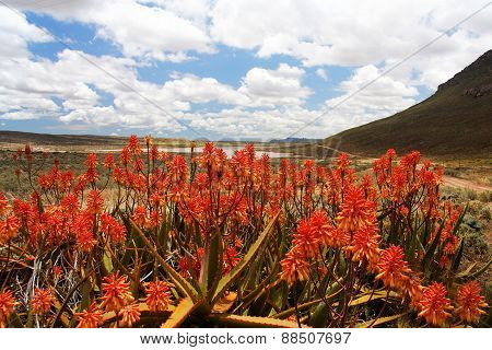 Red Aloe Plants In Scenic Mountain Valley