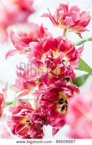 Beautiful pink double peony tulip