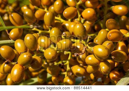 Closeup of yellow dates clusters