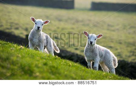 Pair Of Spring Lambs