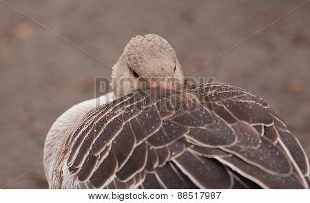 Wild grey goose