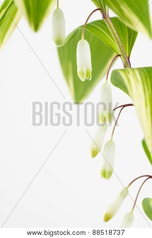 Solomon's Seal Leaves And Flowers