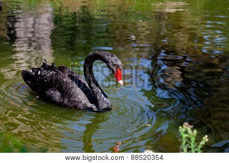 Amazing Black Swan Looking At Its Reflection