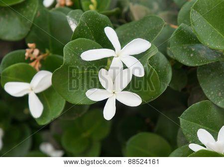 Carissa grandiflora blossom