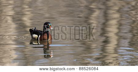 A lone male wood duck