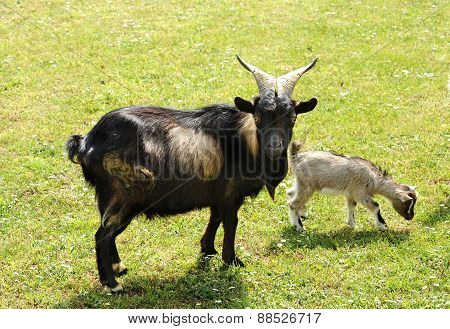 Tibetan Nanny Goat With Kid