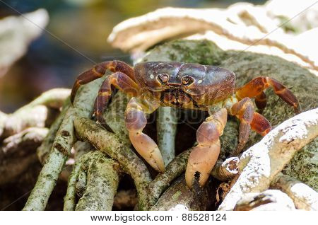 Hairy Leg Mountain Crab At Tachi Island