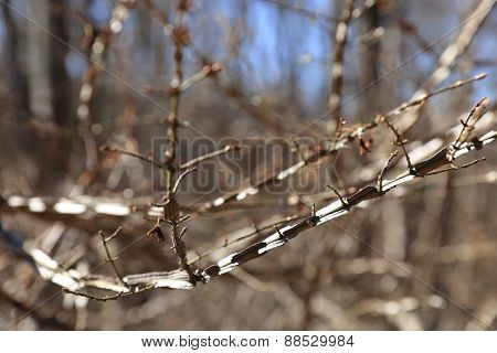 Winged Burning Bush branches - Euonymus alatus