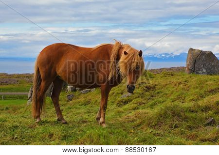 Iceland in July. Farmer sleek horse. Beautiful horse grazing in a meadow near the farm