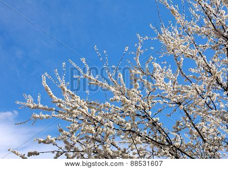 Flowering Branches Of Trees In Spring, On Background The Clear Blue Sky