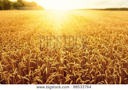 Field of wheat and sun