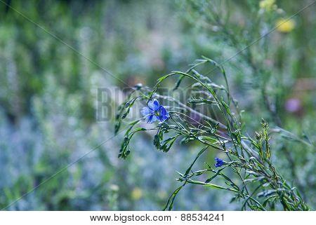Flax Flower in Backlighting