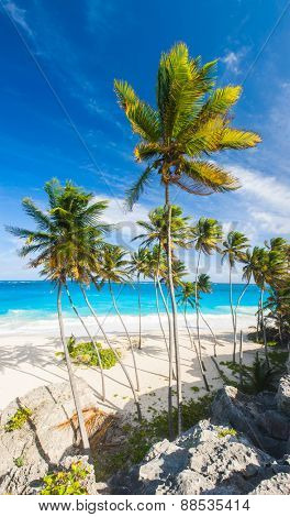 Bottom Bay is one of the most beautiful beaches on the Caribbean island of Barbados. It is a tropical paradise with palms hanging over turquoise sea. Wide vertical panoramic photo