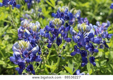 Cluster of Bluebonnets