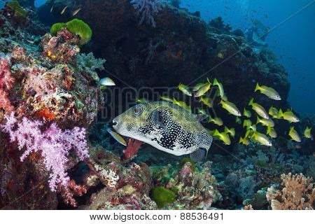 Giant Puffer Fish In Water Of Andaman Sea, Thailand