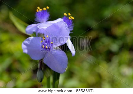 Three Spiderwort Flowers Against Green Background
