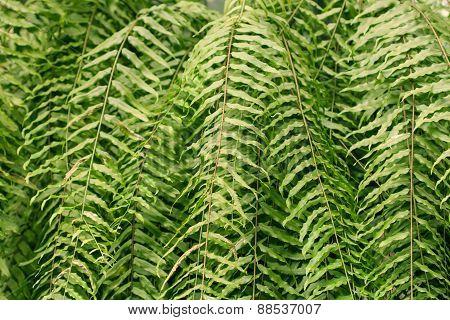 Green Leaf Fern