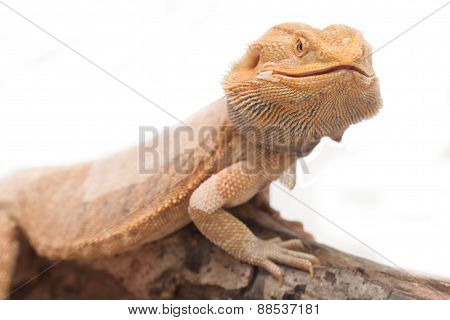 Portrait Of A Bearded Agama.
