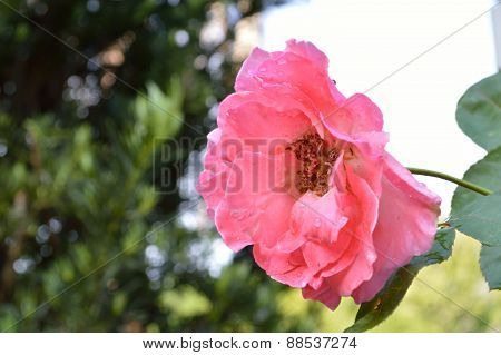 Pink Old-fashioned Rose