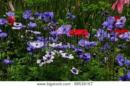 Red, white, and blue Anemone Flowers