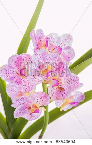 White, Purple Orchid