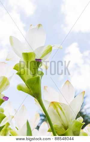 White Siam Tulip Flowers