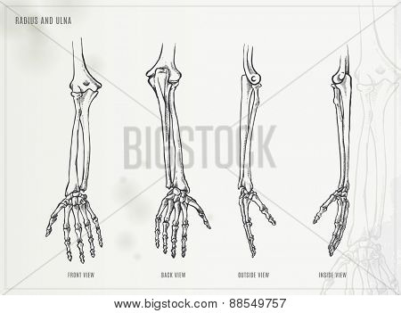 Ulna, radius and hand bones