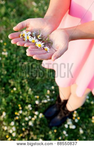 Woman hands holding a daisies with pink blurred background