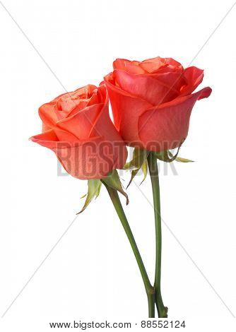 Two orange  roses  isolated on white