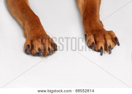 Paws Brown Toy Terrier on White Background