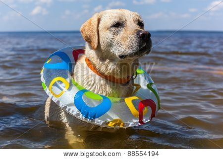 Labrador bathing in the river