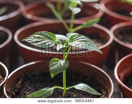 small seedling green peppers