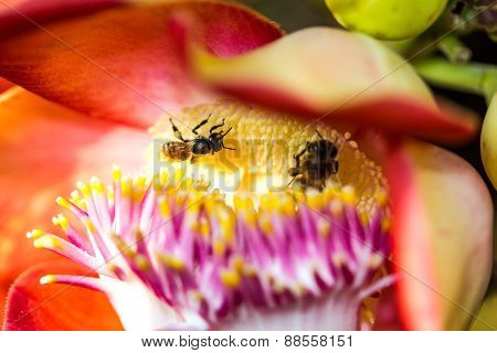 Little Bee On Cannonball Flower