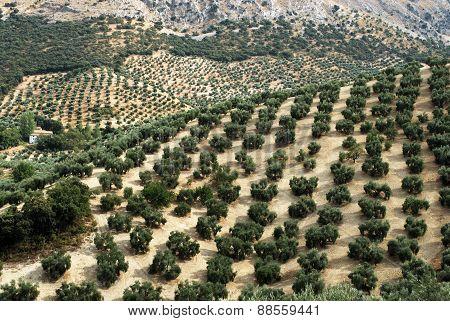 Spanish olive groves.