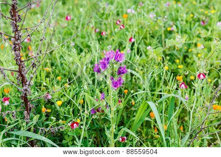 Wildflower At Mountain Meadow In Spring, Sicily