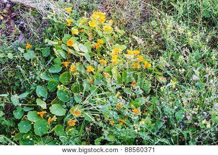 Flowers Tropaeolum (nasturtium) In Spring Forest