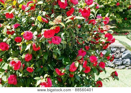 Camellia Bush With Red Flowers In Sunny Spring Day