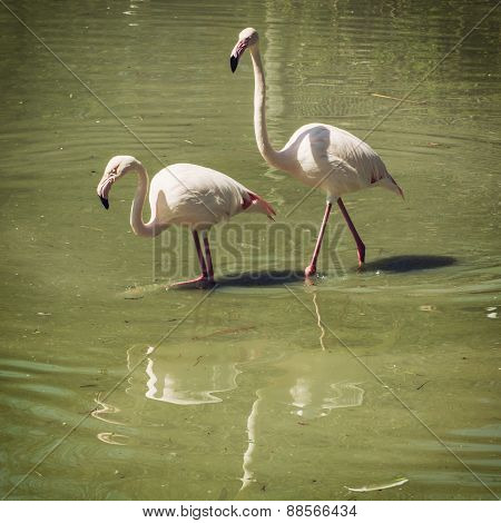 Pair Of Flamingos Wading In Mirroring Water