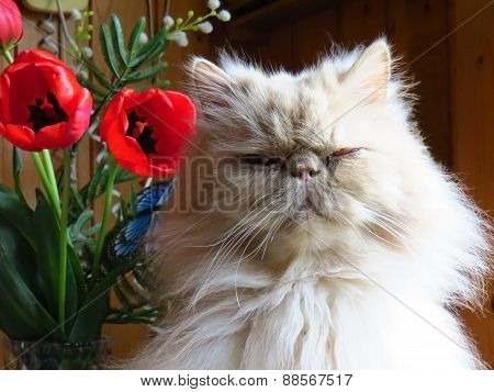 Portrait Of The Persian Cat Adult Fawn With Flowers