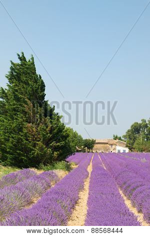 Fields with lavender in the Provence in France