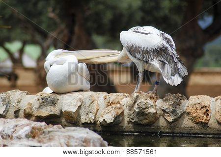 Pellicani bianchi