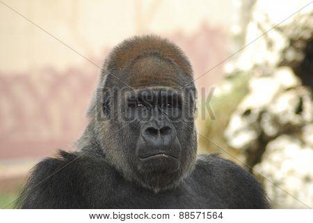 Gorilla Pensieroso