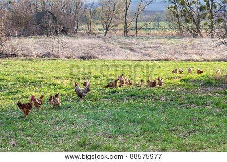 Roosters And Hens On Meadow