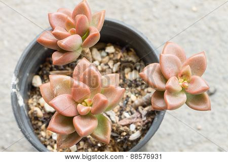 Cactus in plastic pot