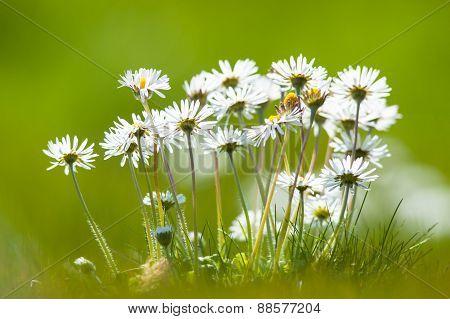 daisy flowers during springtime