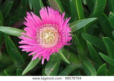 Pink Flower Ice Plant Close-up. Horizontal