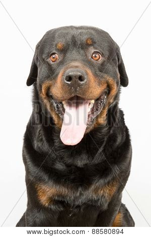 Young Rottweiler Portrait Inside A House